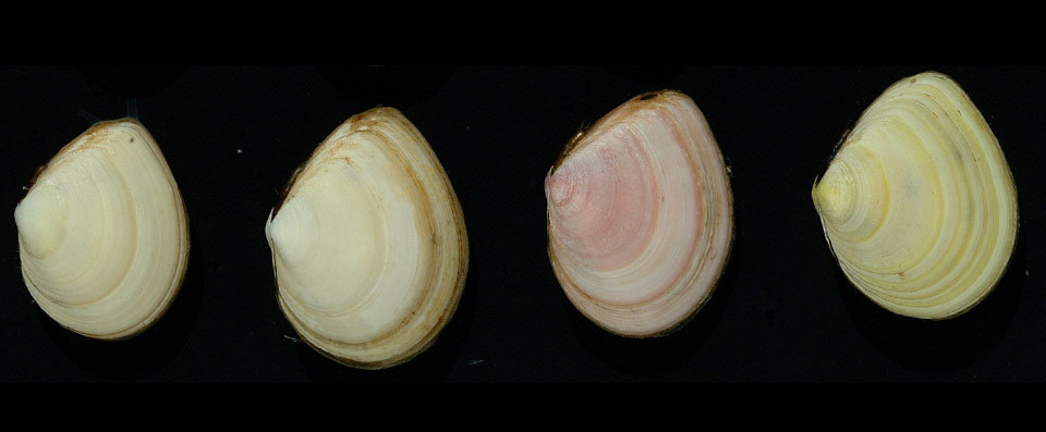Growth rings on bivalves - as in these Baltic tellins - show their age