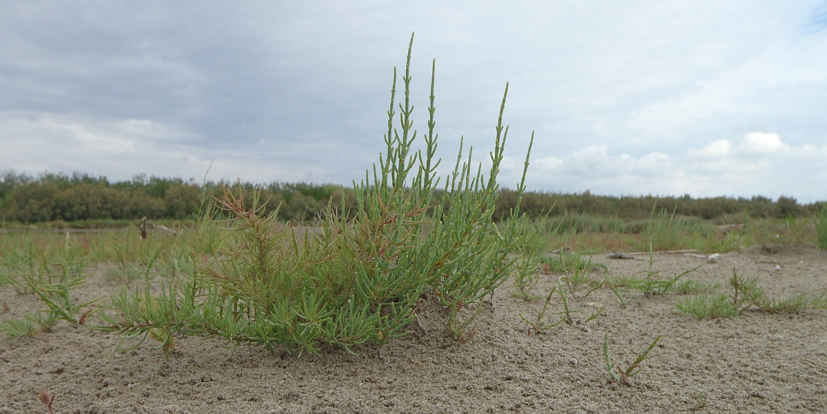 'Venice' Pickleweed (Salicornia veneta) at an Adriatic salt marsh. Photo Jim van Belzen