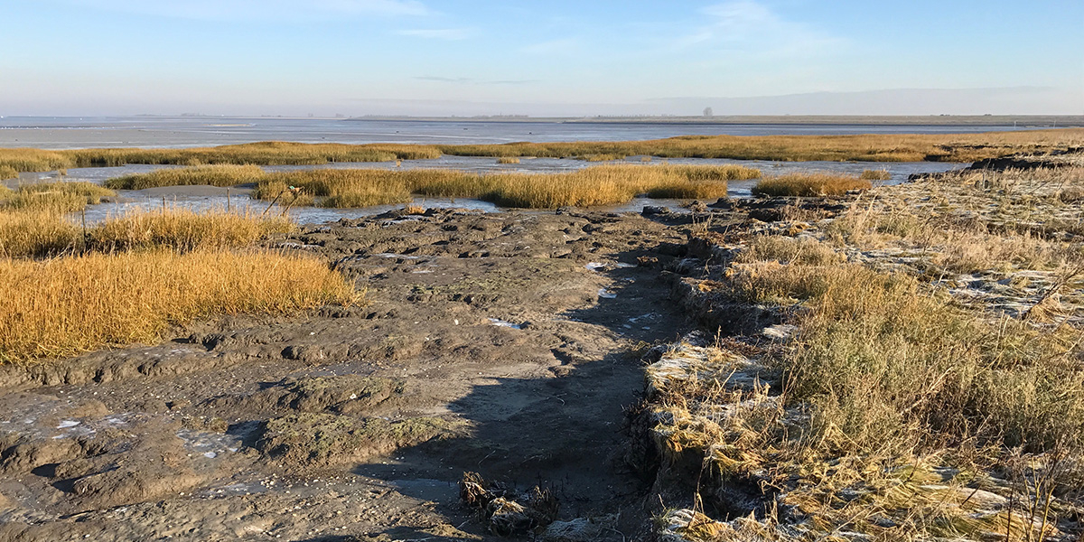 An eroded marsh with vegetation recovery on the neighboring tidal flat. Photo: Zhenchang Zhu