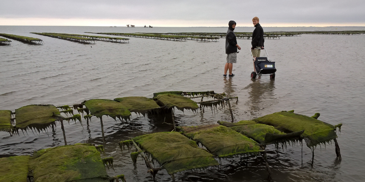 Collecting oysters close to an oyster farm in the northern Wadden Sea (Sylt, German). Photo: David Thieltges