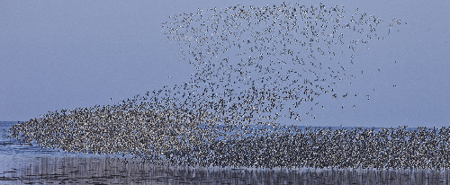 Red knots in flight (photo: Jan van de Kam)