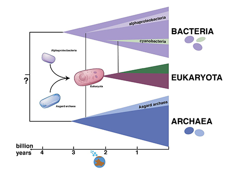 Figure: Illustration of the tree of life with eukaryotes originating through a symbiosis between archaea and bacteria.