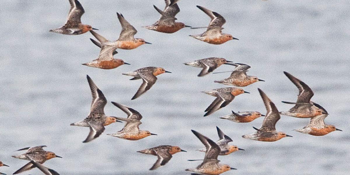 With WATLAS we follow where Red Knots go in the western Wadden Sea. Photo: Jan van de Kam