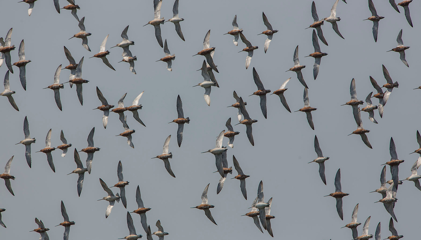 Bar-tailed godwits fly approximately five thousand kilometres in just  four days to get to their breeding area in Siberia. Photo: Jan van de Kam