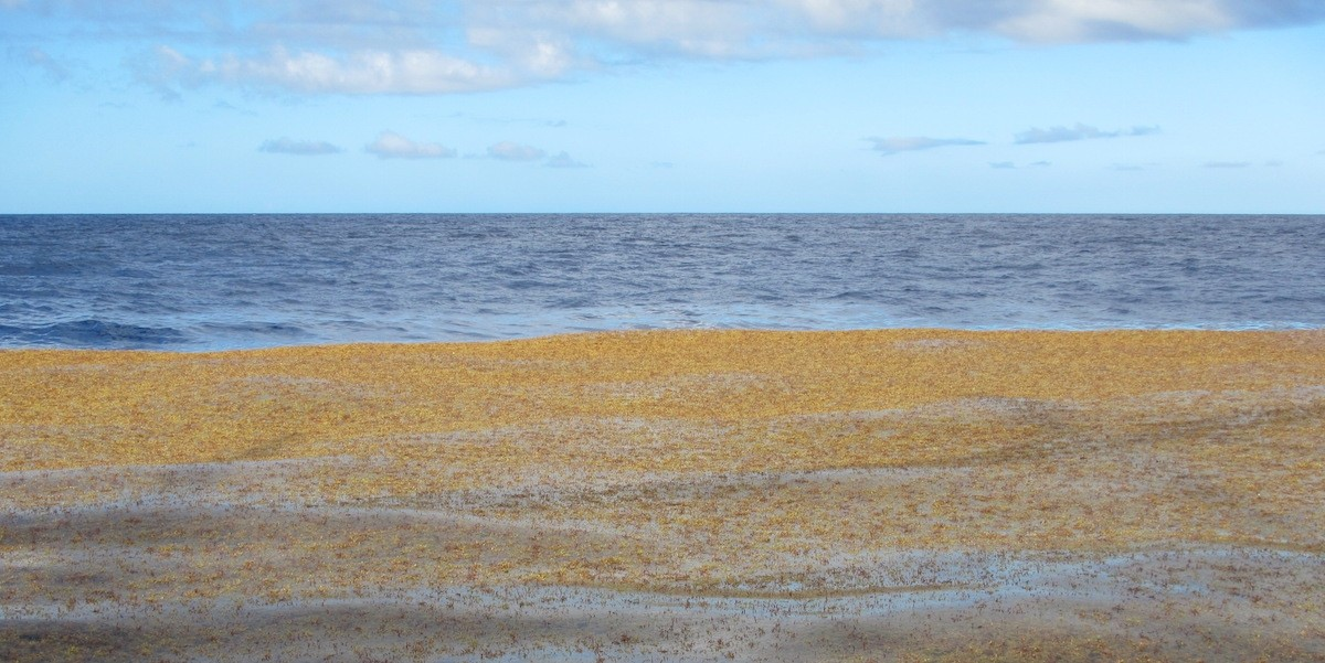 Holopelagic Sargassum is now a common feature of Caribbean coastlines including those of the Netherlands Antilles.