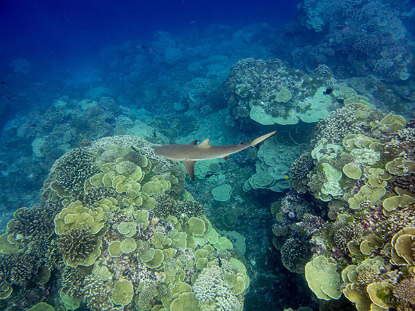 Reef shark Soutern Line Islands - Photo: Emily Kelly