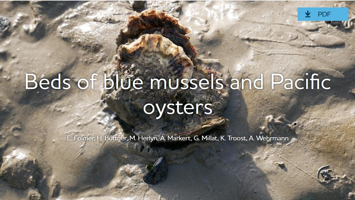 Photo: CWSS/Bostelmann. Pacific oysters and blue mussel.