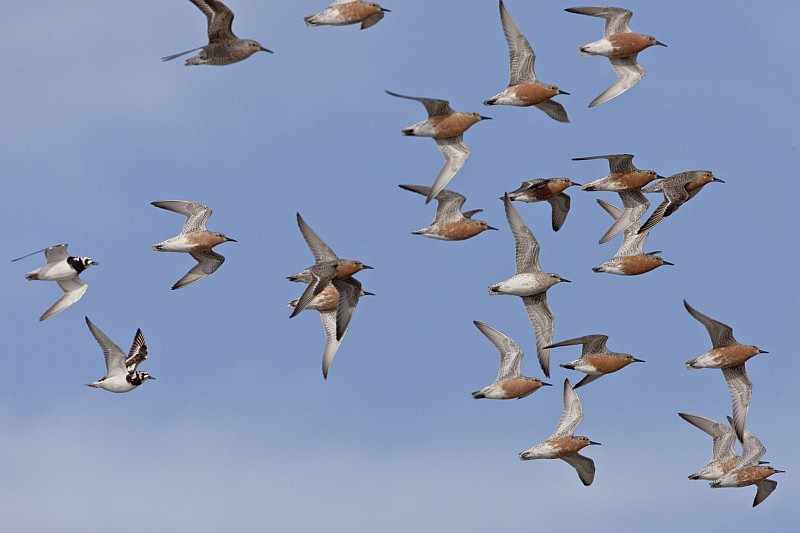 Knowledge about leadership in pigeons may yield insight into the behavior of other social species, such as these shorebirds.