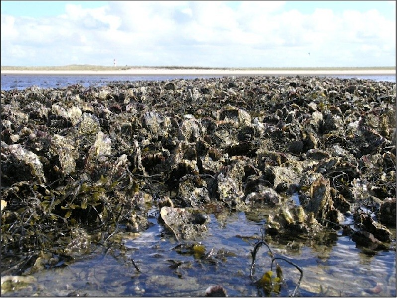 Close up of an oyster reef