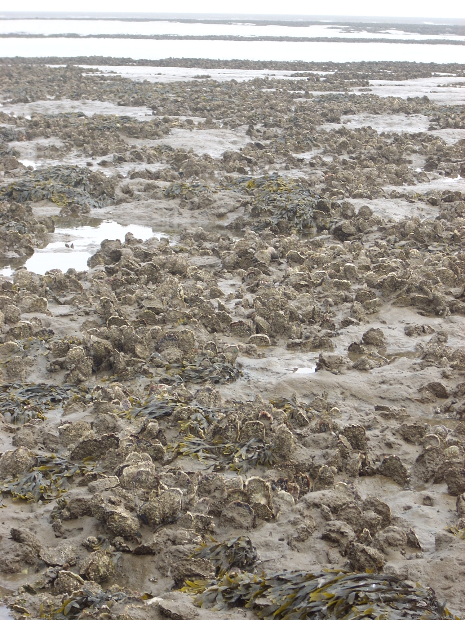 Section of a large oyster bed in the Wadden Sea