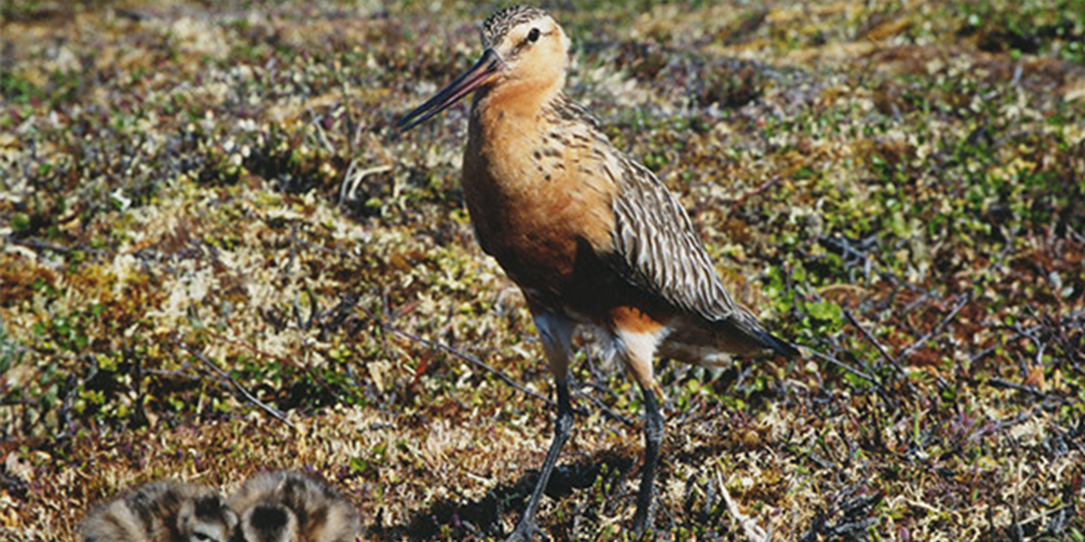 Godwit with her chicks.