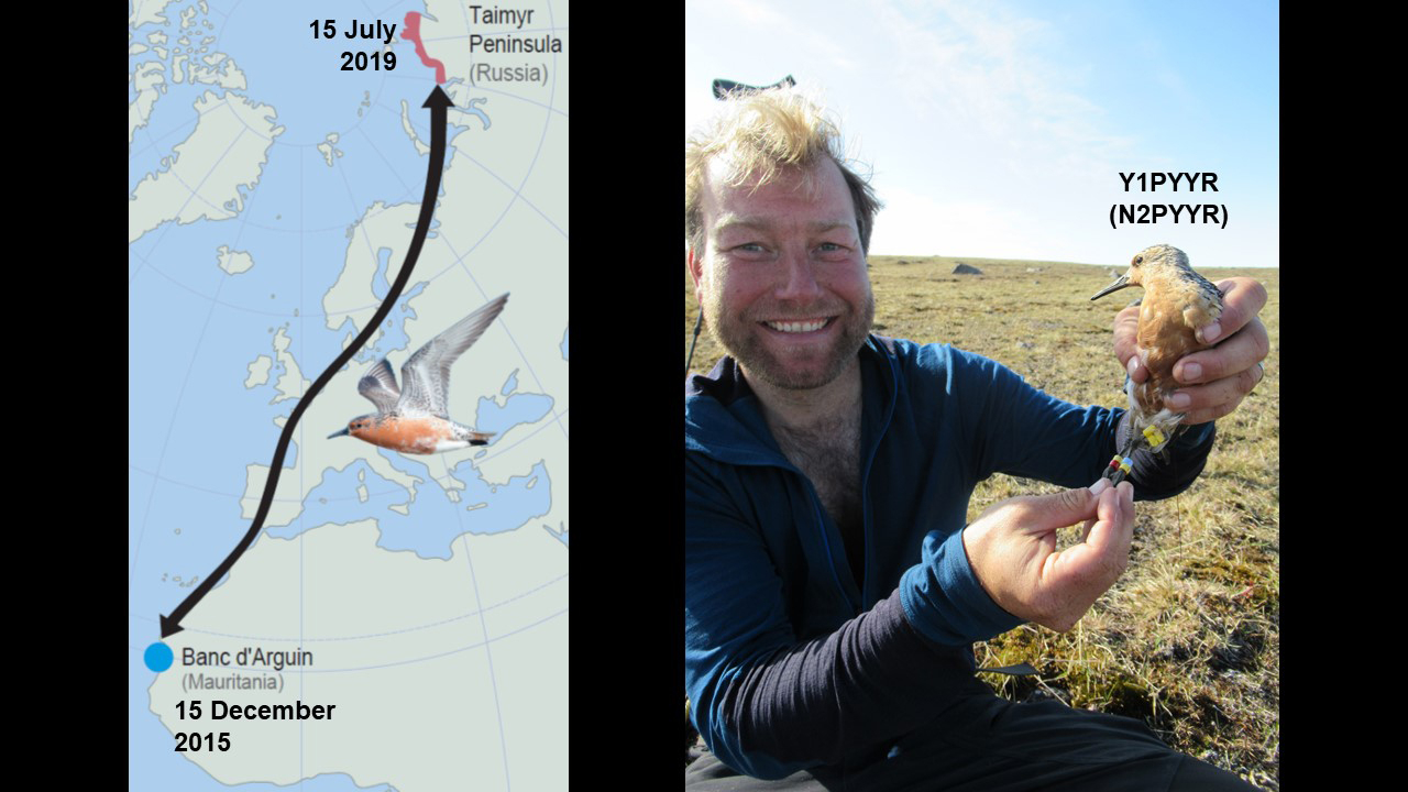 15 July 2019 Today we had the most spectacular catch of the season, when we trap N2PYYR that was banded 4 years ago and 10,000 km away in Mauritania, by the same catcher as today: Job ten Horn!