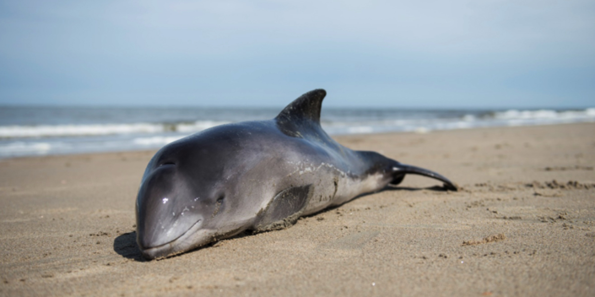 Sustainable functioning of coastal and shelf seas: Harbour porpoise strandings