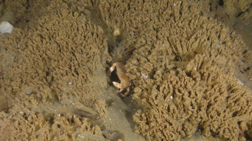 Figure 1. A reef formed by the tubeworm Sabellaria spinulosa observed on earlier cruises. The large crab in the middle is an edible crab (Cancer pagurus).