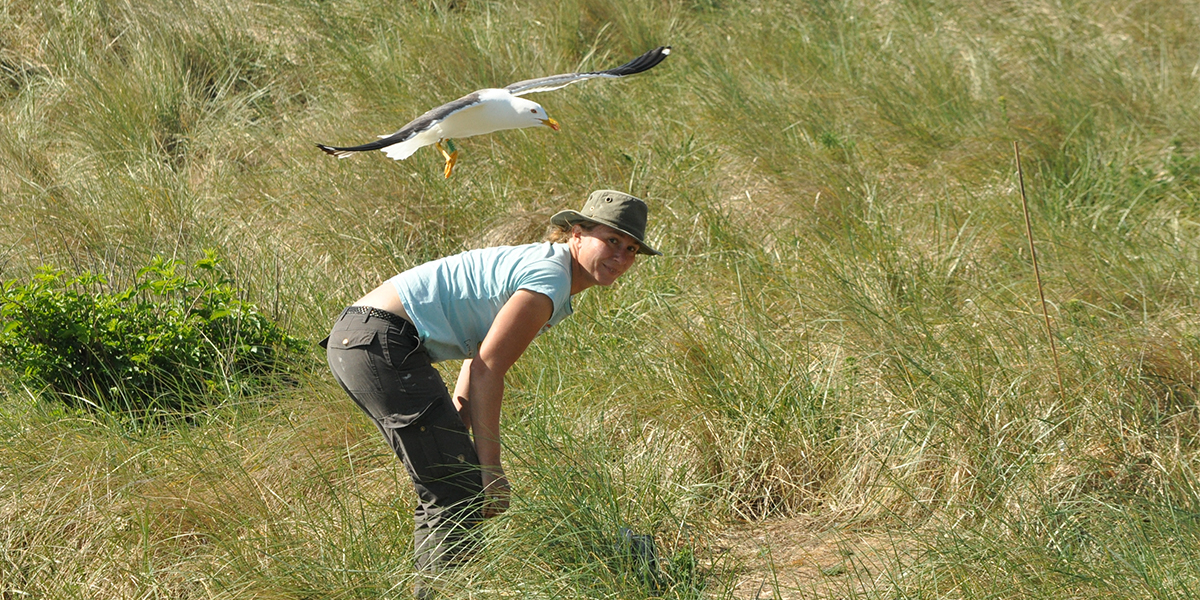 Photo (Kees Camphuysen): Lesser Black-backed Gull defends its nest against researchers