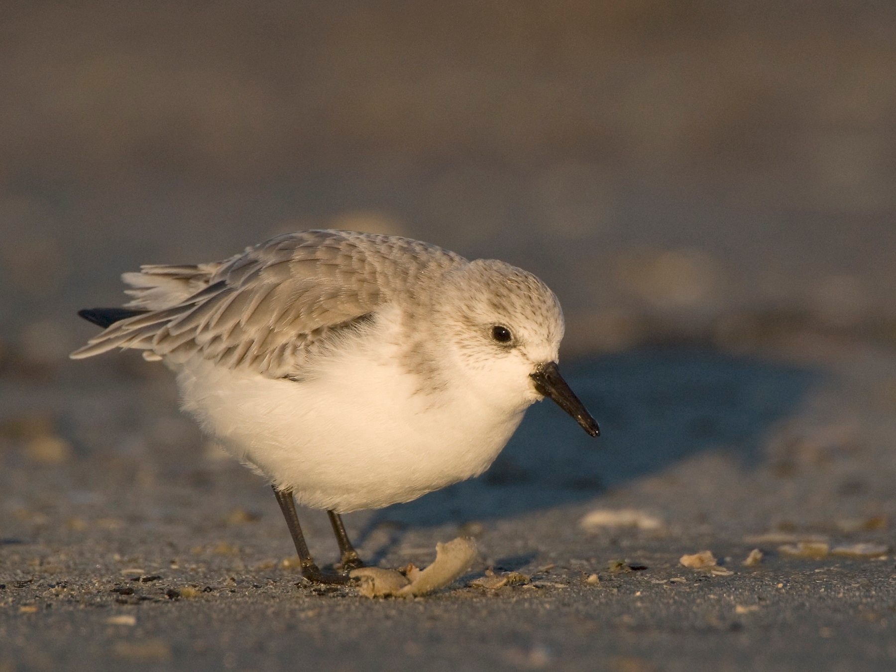 A sanderling on a cold winter's day on Schiermonnikoog, the Netherlands. Photo by Jeroen Reneerkens
