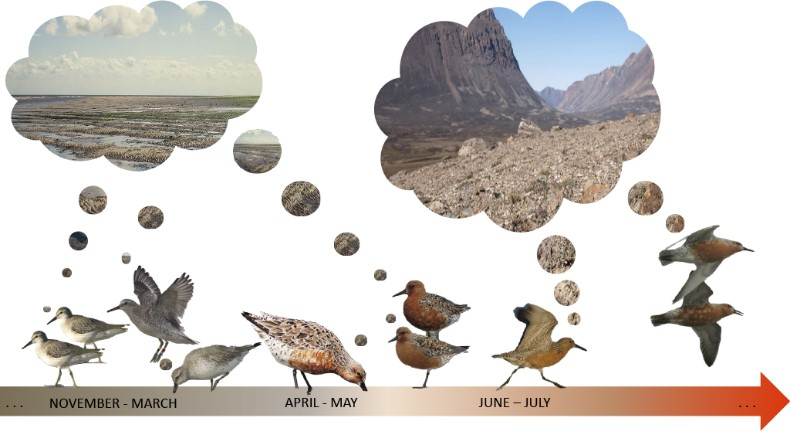 The birds in the experiment showed that they could distinguish images and memorize them. In the second phase of testing, Kok and colleagues focused on a change in preference for images in relation to the seasonal cycle. Image: Eva Kok