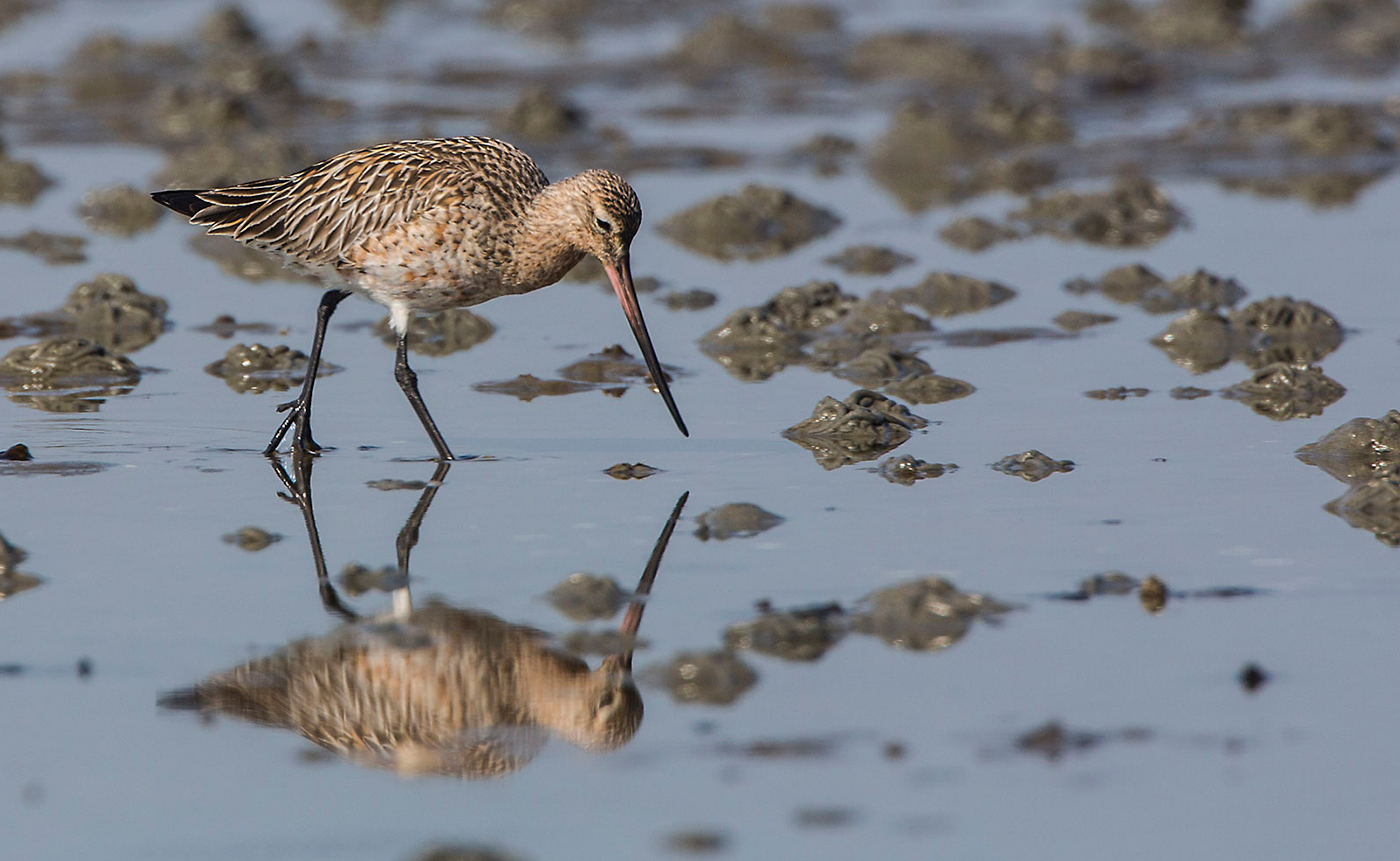 A bar-tailed godwit in the Wadden Sea looking for food. Photo: Jan van de Kam