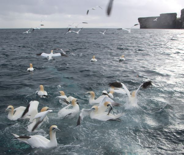 Northern Gannets off the UK coast, Photo: Kees Camphuysen