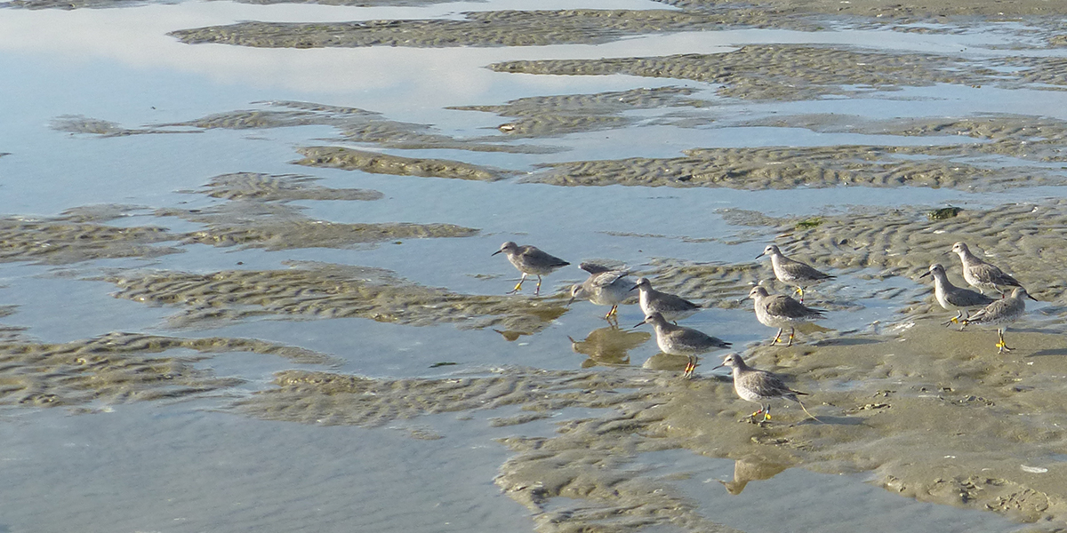 Part of the research is to learn how much and what type of prey the red knots have eaten in 4 months.