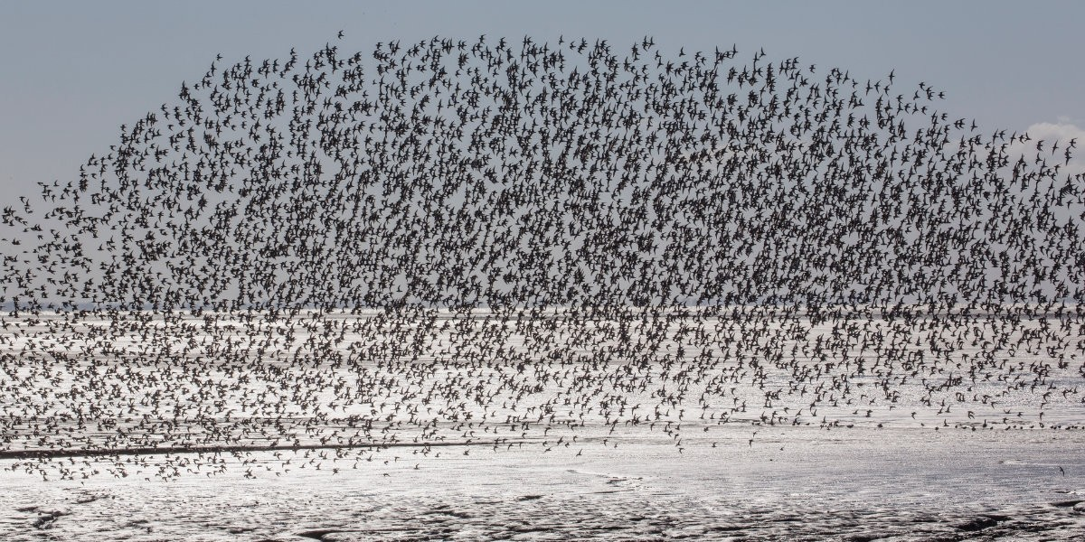 Flock of knots over the Wadden Sea