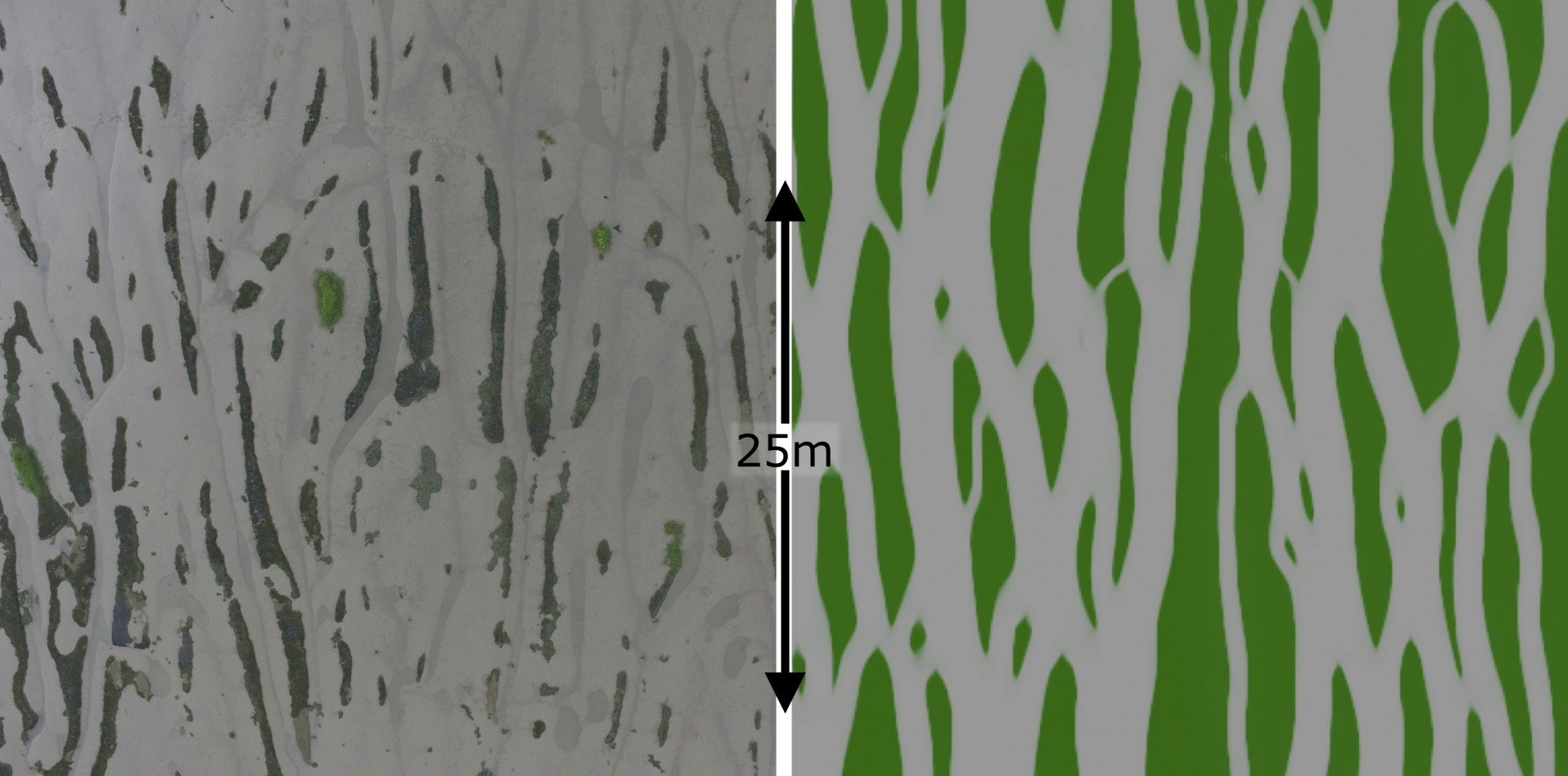 Algae create self-organised bedforms on tidal flats, enhancing drainage. Bedforms observed with a drone (left) and simulated in a numerical model (right).