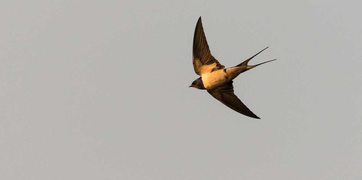 A barn swallow with a datalogger (photo © Markus Craig)