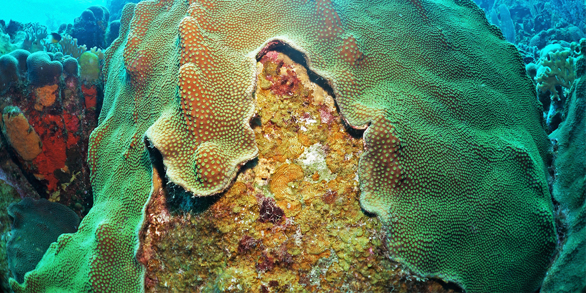 Competition between coral and algae on a reef is mediated by the interaction between all of their associated viruses, bacteria and biochemicals. Photo: Ty Roach