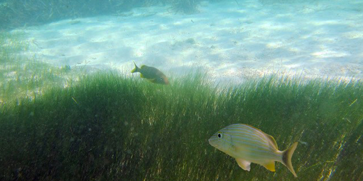 Loss of seagrass threatens all the species that rely upon them. Photo: Rebecca James